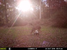 The Deer Getting Something To Eat Under Sun's Rays.