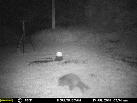 RACCOON COMING FOR SA BED TIME SNACK.